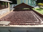 The cocoa beans drying out in the Tobago sun